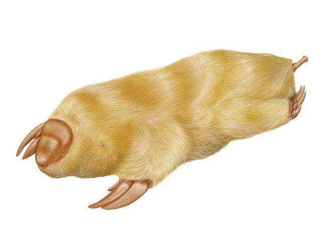 Torbar mole - životinju koja je udoban da živi sama u zemlji.