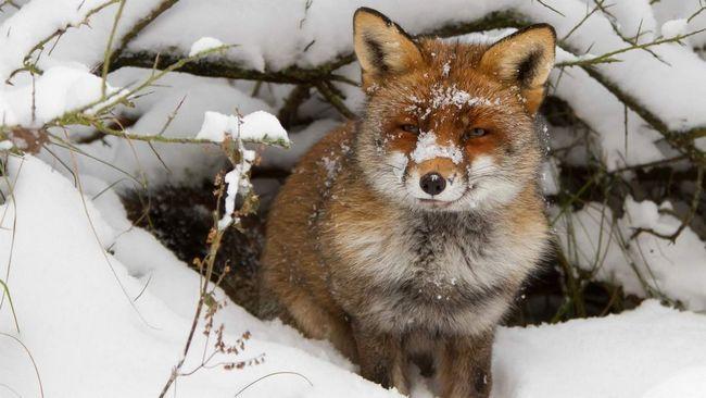 Lisica u blizini svoje den.