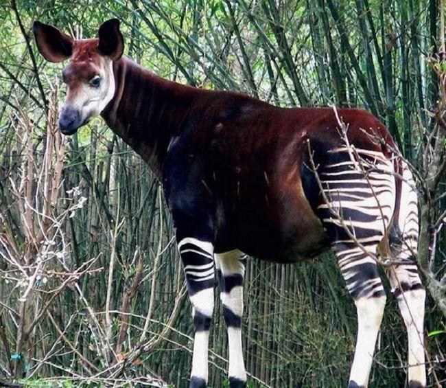 Okapi, to - zebra-žirafa. Ovo sisara je kao nijedan drugi stvor na planeti.