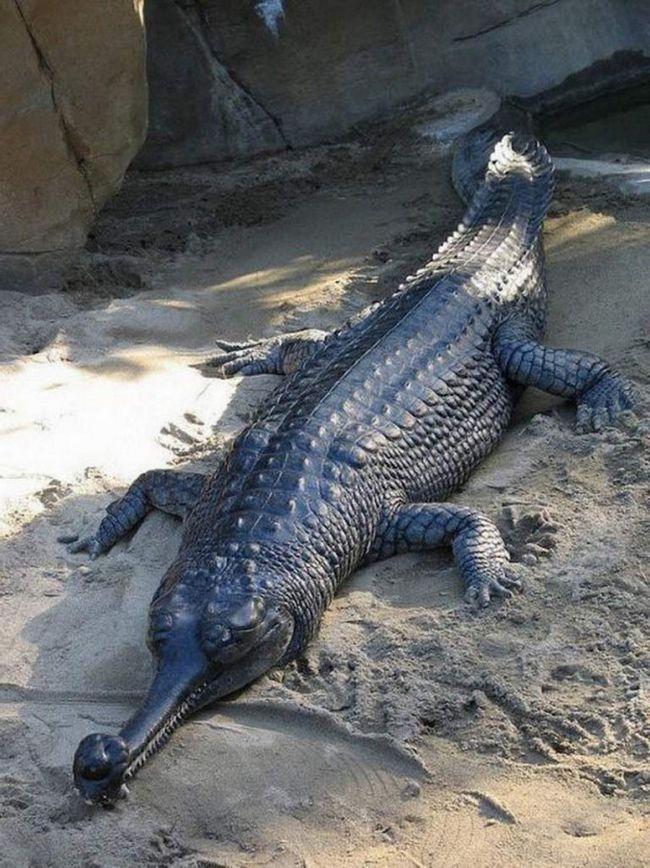 Gharial. Neobična reptila, rodom iz Indije. Za razliku od ostalih članova porodice krokodila, ova vrsta uske