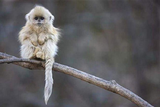 U Subtropics Kine života je mali krzneni čudo. Njegovo ime - zlatno prćastonosi majmun. Više kao medo, prodaje se u radnji za djecu, zar ne?