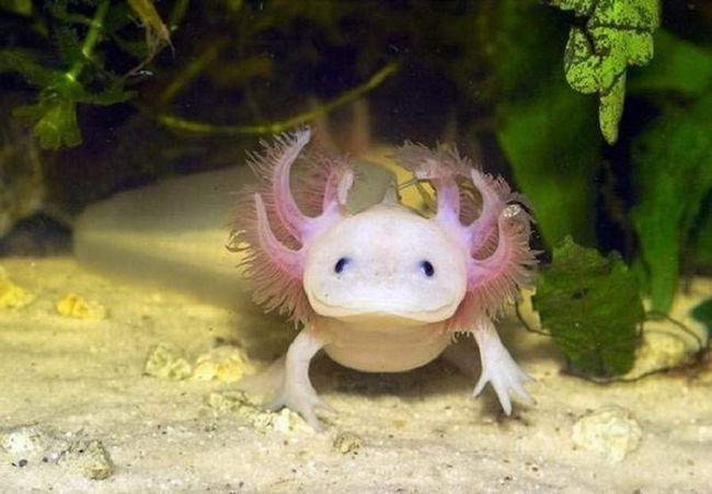 Dozvolite mi da vas upoznam Axolotl. To jest, srednji fazi razvoja životinje (amfibija) pod nazivom ambistoma. Ali, za razliku od drugih