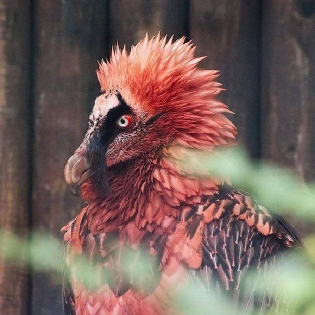 Ptica pod nazivom bradati. Gledam