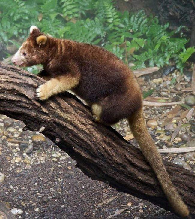 Pola medvjed, pola-kengur ... Ovdje je životinja koja se zove stablo kengura. Ova životinja nastanjuje otoke Nove Gvineje.