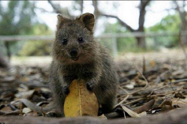 Kangaroo Quokka - jedan od najpopularnijih životinja u Australiji. Vrsta koje su navedene u Međunarodnom crvenom knjiga. Ove životinje se ne plaši ljudi.
