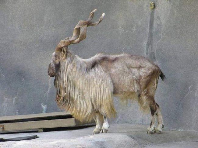 Markhor, ili markhor. Ovaj sisavac se smatra nacionalni simbol Pakistana. Osim toga, Markhor - omiljeni plijen od krivolovaca, zbog čega je njihova vrsta stavio na rubu izumiranja.