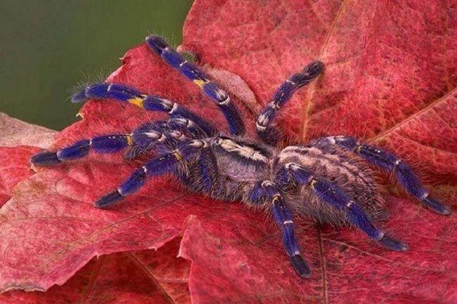 Ukrasno tarantula. Ova vrsta pauka ima izuzetno lepa obojene tijelo. Živi je stvaranje