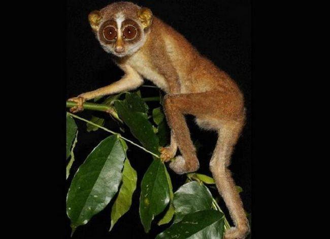 Ova vrsta primata (porodice lorievyh) a istina je kao stranac, njegov okrugli oči, uzak nos i brnjicu neobično - daje sve