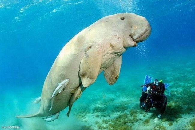 Morska krava - neobično sisara koji živi u Indijskom oceanu. Njegovo tijelo je čudno, pa čak i bez oblika.