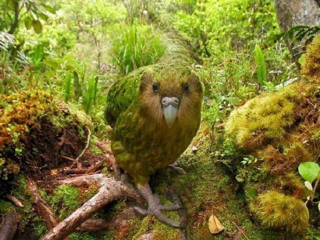 Owl papagaja, on - Kakapo. Začudo, ali za razliku od drugih papagaja, on ne može da leti. Ova ptica živi u Australiji.