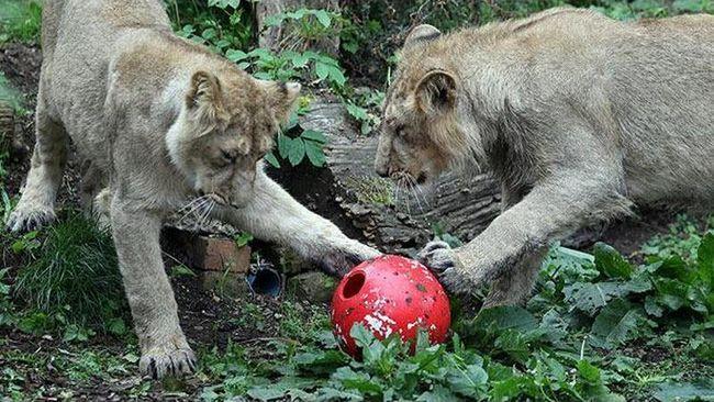 Zvířata také rádi fotbal