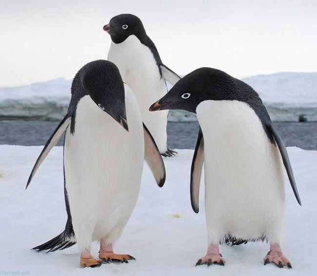 Adelie pingvina, love, gdje možete kupiti lijepa kamena.