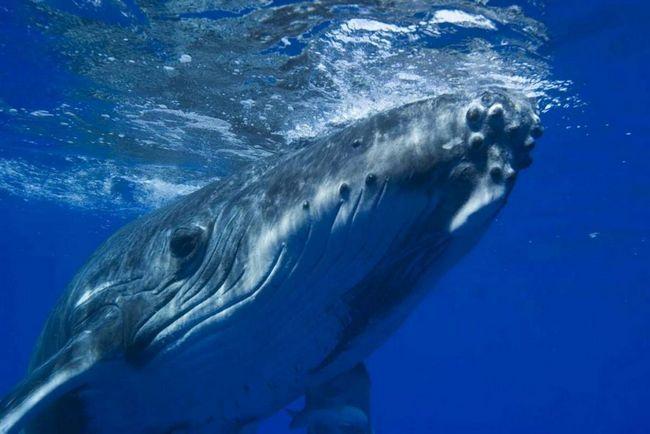Big Blue Whale - predstavnik porodice Baleen kitove.