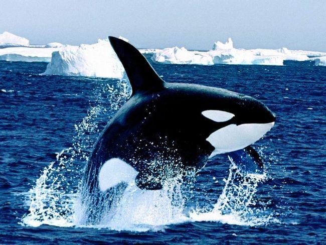 Orca - velikim socijalnim Antarktiku stanovnika.