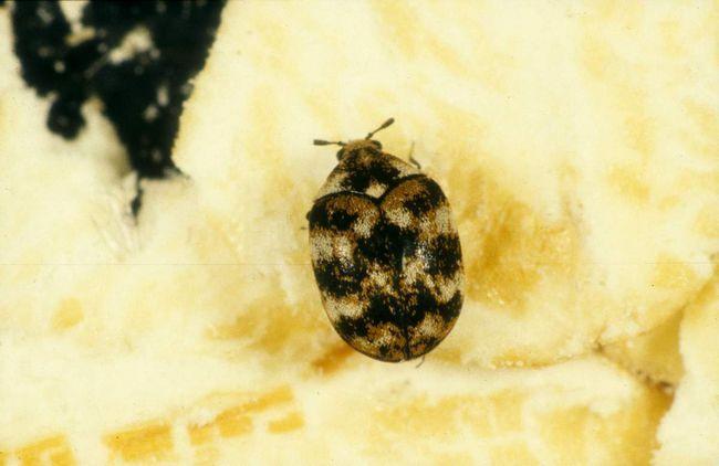 Múzeum chrobáky pohltiť nielen drevo muzeálne kúsky, jedia je lepidlo kníh pokaziť papier zničiť srsť a perie.