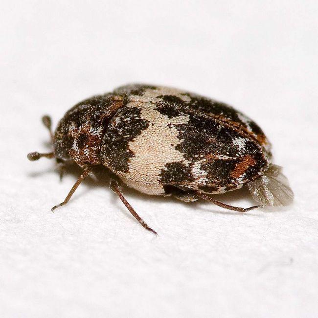 Kozheedy radi suchej miestnosti a sú často nachádzajú v oblastiach s púštnom podnebie.