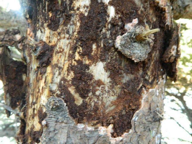 Usadil na strome, môže podkôrniky ho zničiť.