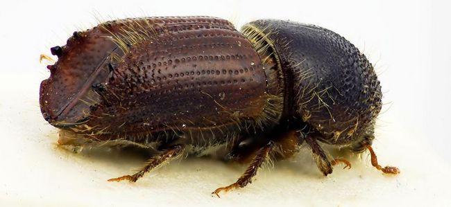 Chrobák lykožrút - malý, ale veľmi nebezpečný škodca.