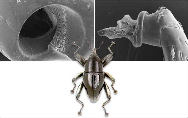 Жуки-долгоносики ``изобрели`` винтовое соединение