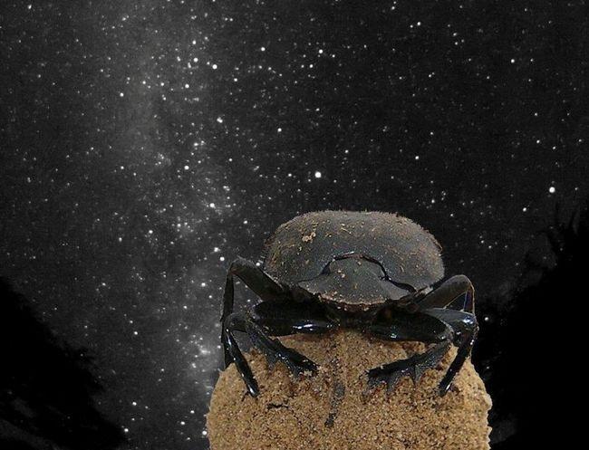 Жуки-скарабеи ориентируются по звездам