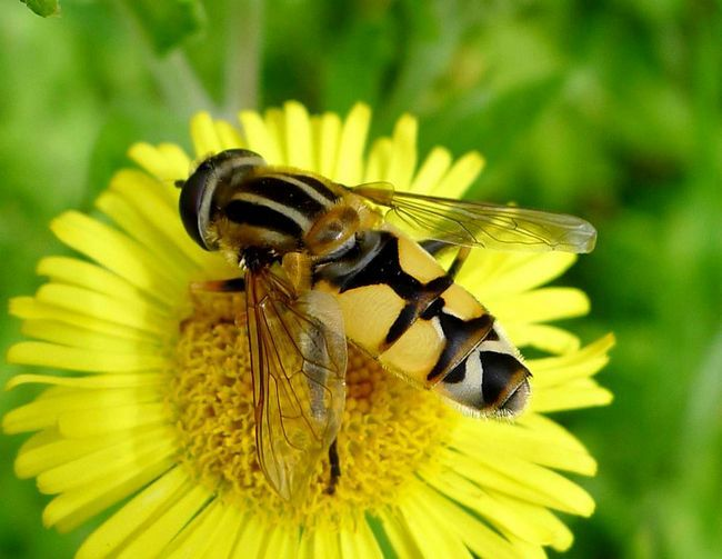 Hoverfly (Syrphidae).