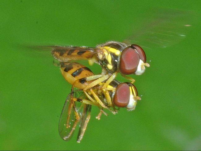 Hover muchy párenie potrebuje nektár a peľ.