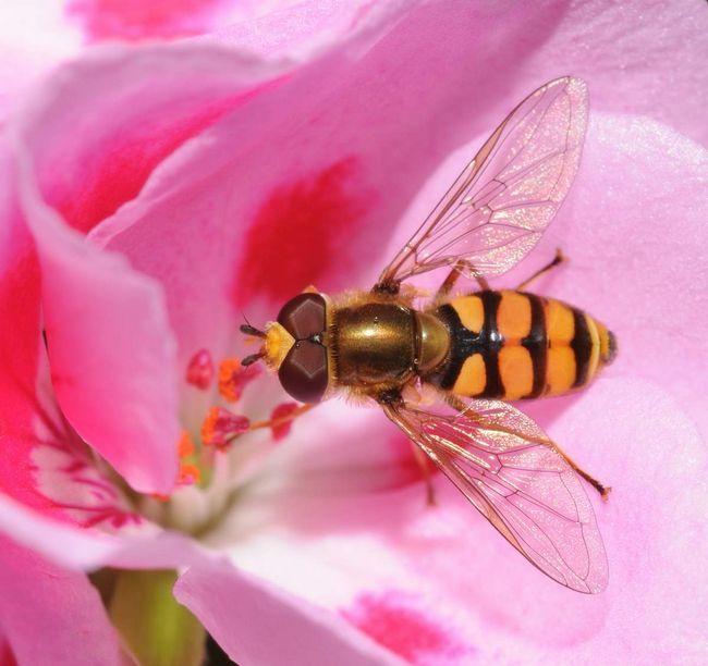Larvy visenie muchy kŕmenie na šťavy z cibule.
