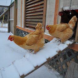 Куры выходят через лаз из курятника зимой