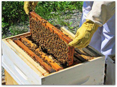 prezimovanie včely