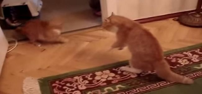 Злой кот тимофей покорил youtube
