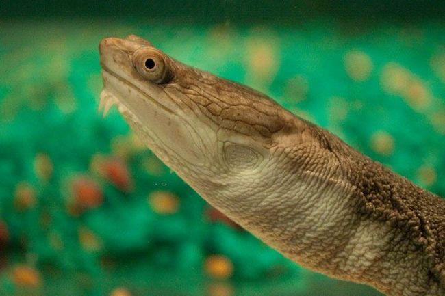 Змеиношеие, или змеиношейные черепахи (лат. Chelidae)