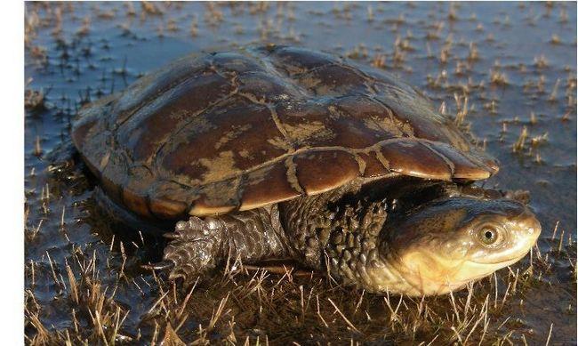 Zapadni močvara kornjača (Pseudemydura Umbrina)