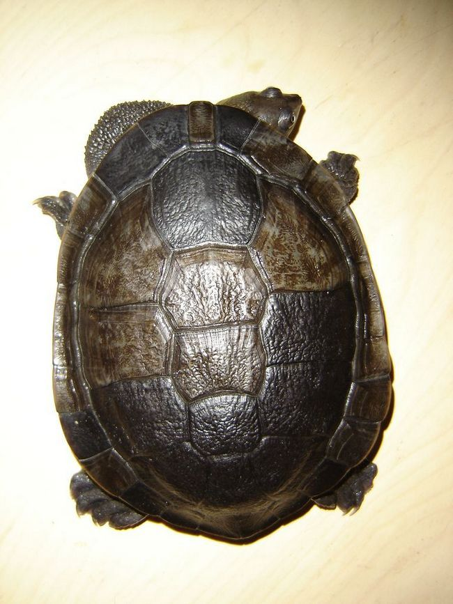 Zmeinosheie ili zmeinosheynye kornjača (lat. Chelidae)