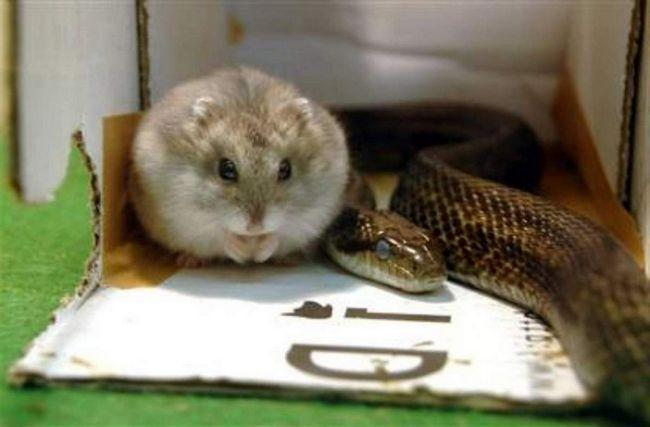 Podivné přátelství křečci a hadi.
