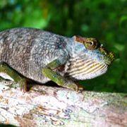 Змея преподнесла ученым новый вид хамелеона