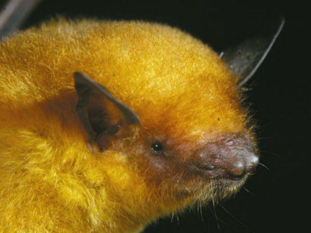 Zlato Bat je predstavnik nove vrste