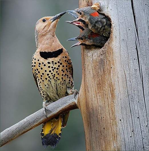 Птенцов родители кормят отрыгнутой пищей. Полностью оперяются птенцы к 25-28 дням.