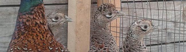 Золотой фазан и другие породы экзотической птицы декоративного и мясного направления