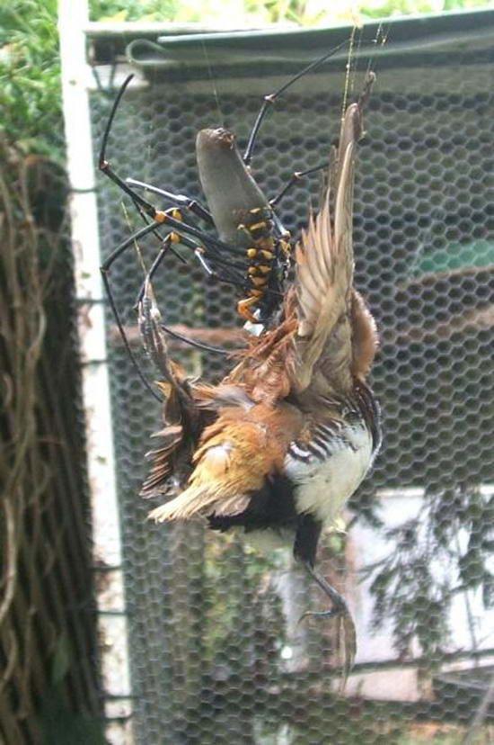 Jeden z australské národní parky síti uvězní zlaté jablko tkaní pavoučí obrovský pták dostal impozantní velikosti.