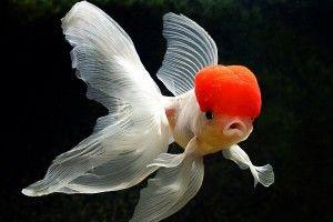 Золотые рыбки: болезни и лечение