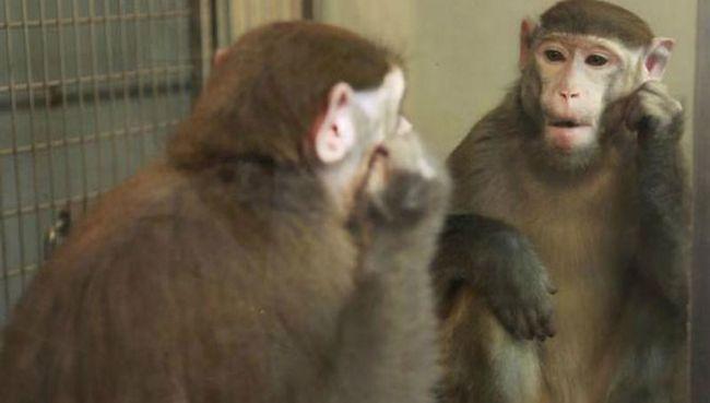 Зоологи научили обезьян узнавать себя в зеркале