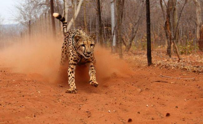 Zoolozi prvi mjeriti brzinu gepardi u divljini