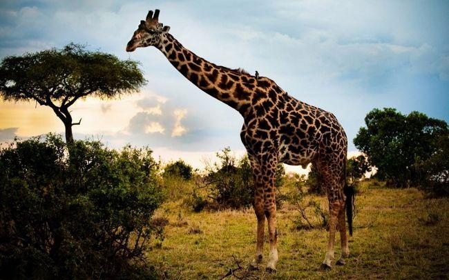 Žirafe ukrasiti Novosibirsk Zoo naredne avgusta.