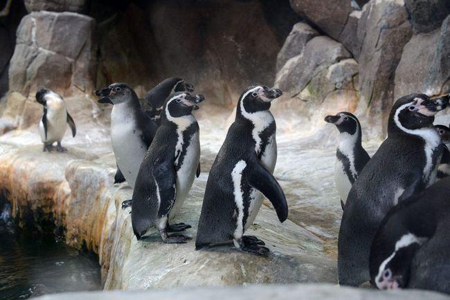 Humboldt pingvini su stigli u Novosibirsk, čekajući da se pripremi sobu.