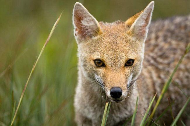 Парагвайская лисица (Pseudalopex gymnocercus).