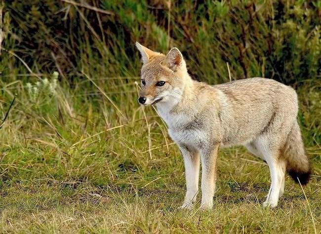 Эти лисицы живут в Южной Америке в безлесной степи, так называемых пампасах.